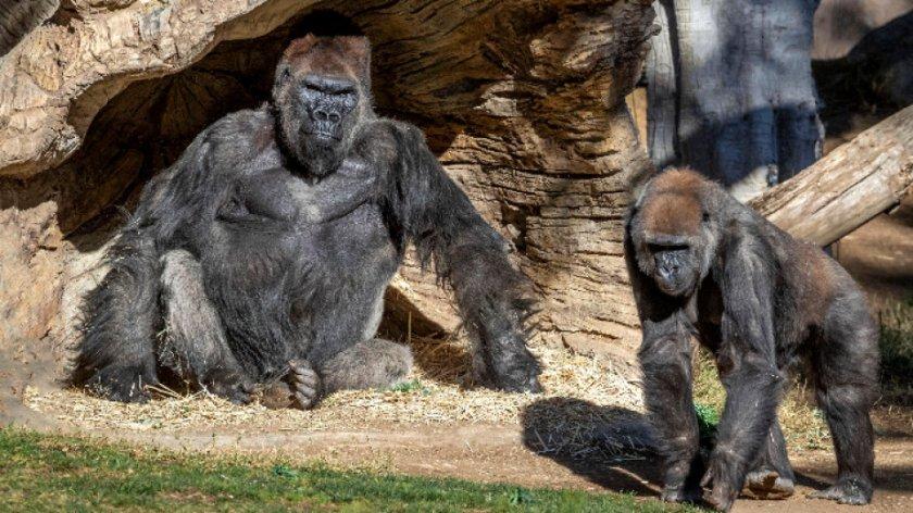 Ваксинираха срещу Covid-19 маймуни в зоопарка в Сан Диего