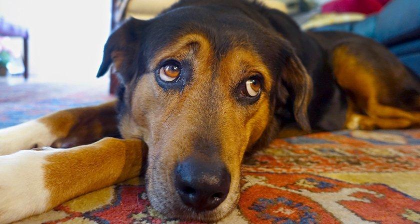 Учени обясняват защо кучетата гледат тъжно