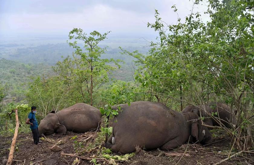 Мълния уби стадо слонове в Индия (СНИМКИ)