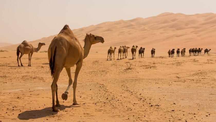 Ново 20: Инжектират камили с умъртвен коронавирус