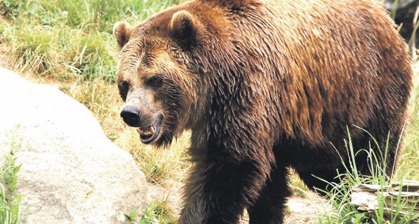 МЗХ разреши да отстрелят три мечки