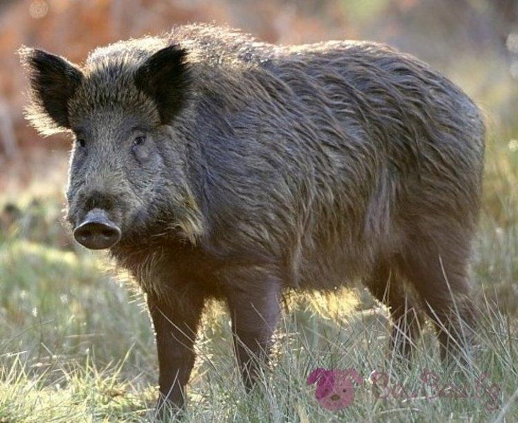 Откриха първото диво прасе с Африканска чума в Плевенско