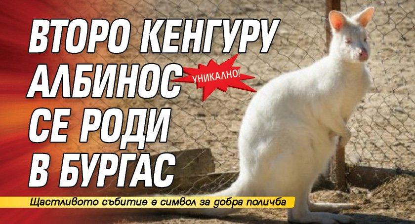 Уникално! Второ кенгуру албинос се роди в Бургас