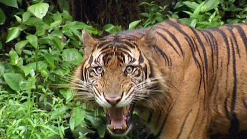 Тигър уби селски жител и рани турист в Южна Суматра