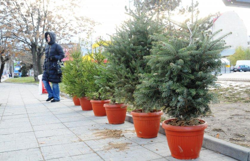 Празнична тесла: Цените на елхите скочиха - 40 лева за коледно дръвче