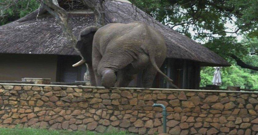 Слон се покатери на ограда, за да краде манго