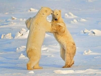 Полярните мечки в руския север масово стават канибали