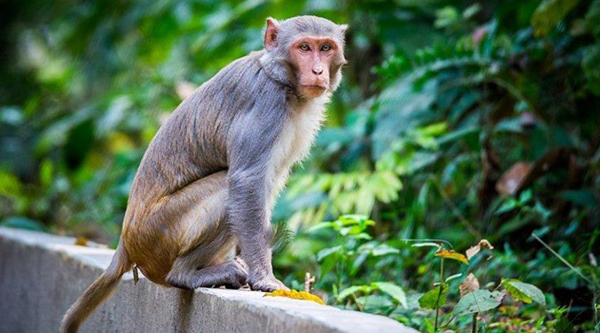 Маймуни откраднаха кръвни проби на възможни носители на COVID-19