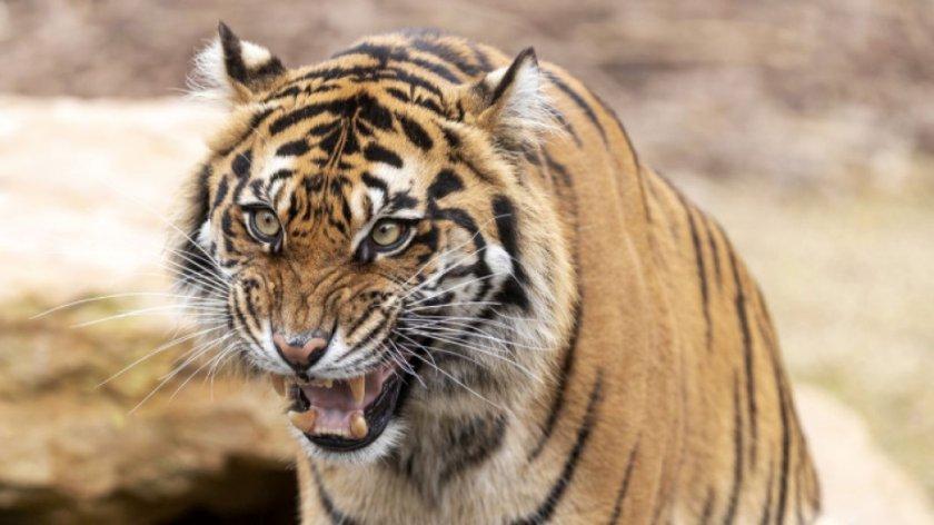 Два тигъра от защитен вид са отровени в Индонезия за дни