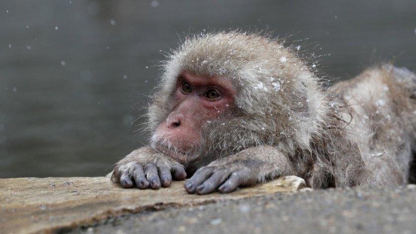 Маймуни, заразени с коронавируса, имат краткосрочен имунитет