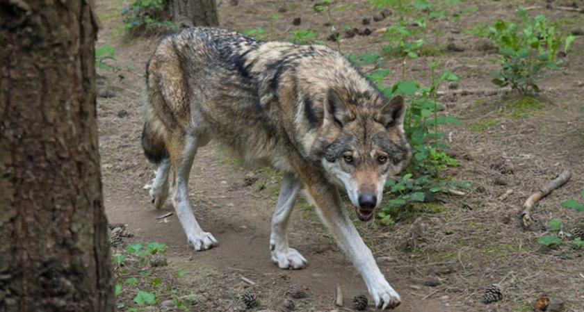 Германия улесни избиването на вълци