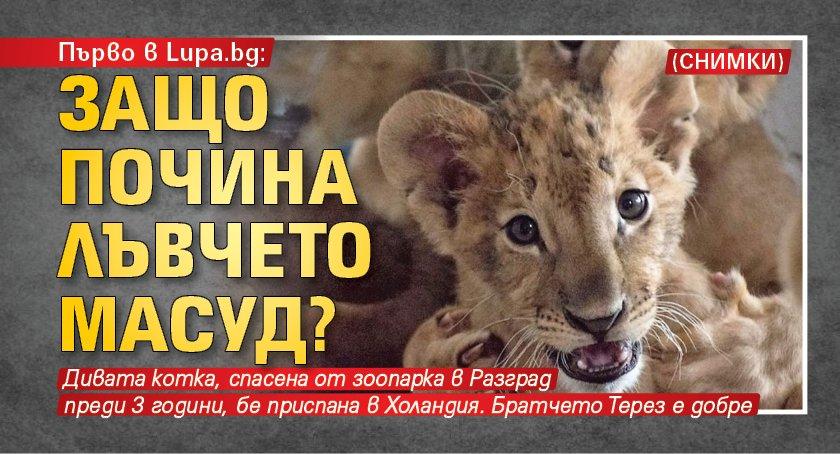 Първо в Lupa.bg: Защо почина лъвчето Масуд? (снимки)