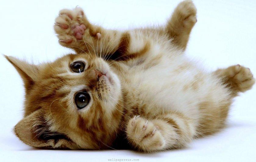 Какво не знаем за котките? Уникални факти (СПИСЪК)