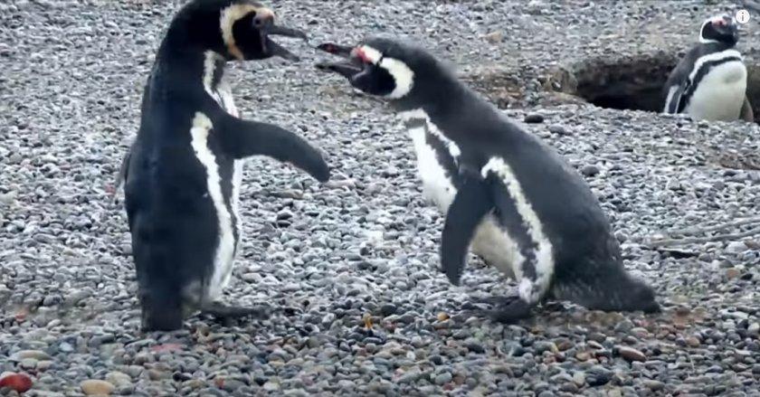Мъжки пингвин завари жена си на калъп и се сби с любовника (ВИДЕО)