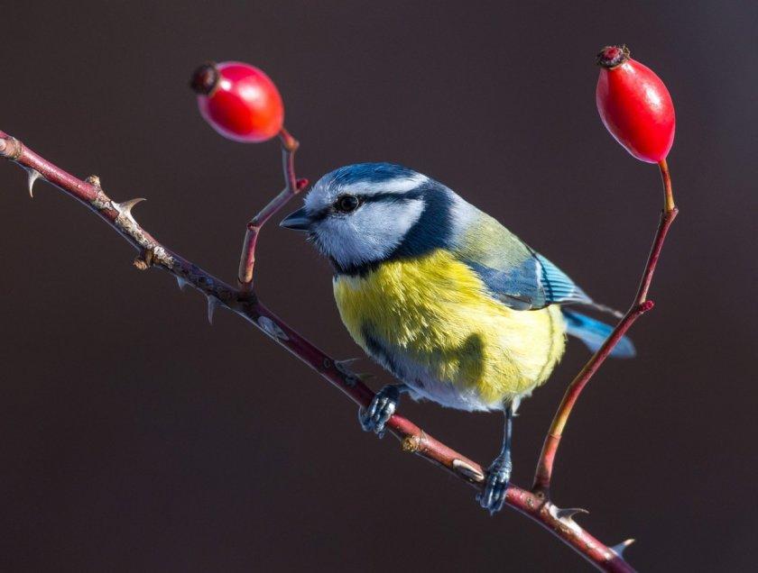 Птиците пеят по-тихо и мелодично в пандемията