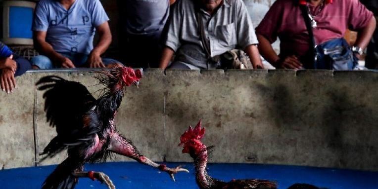 Брутално: Боен петел уби полицай