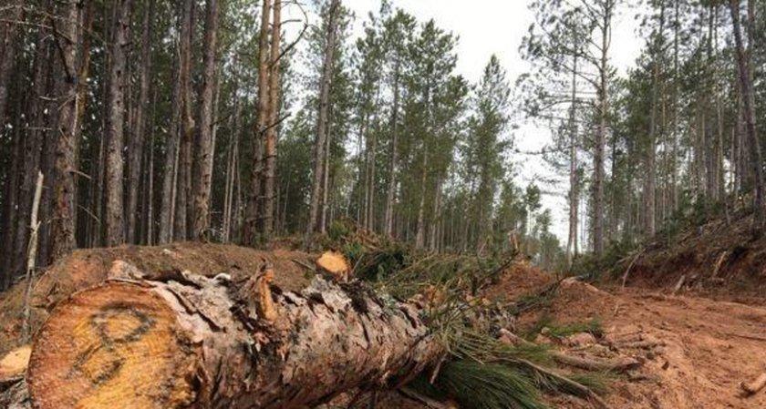 Падащ бор уби дървосекач