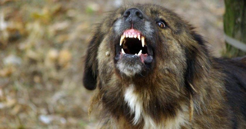 Кошмар на улицата! Кавказка овчарка разкъса 10-годишно дете