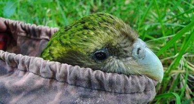 Гъбична болест застрашава редките папагали какапо