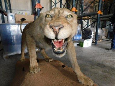 Ветеринар от Разград крие препариран лъв