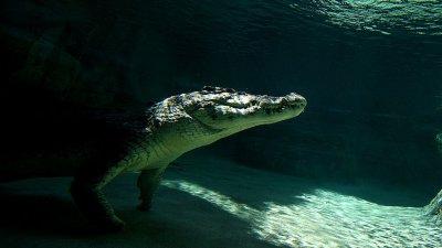 Крокодил нахлу в частен дом, за да поплува в басейна