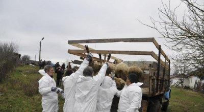ДРАМА: Ловеч иска гробища за заразени животни