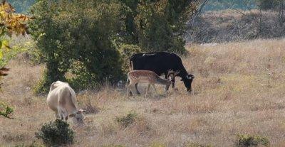 Драма в Родопите: Елен се влюби в стадо крави (ВИДЕО)