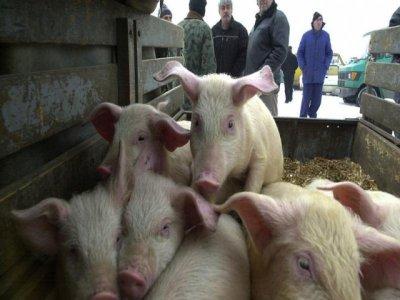 Стопани крият заразени от Африканска чума прасета