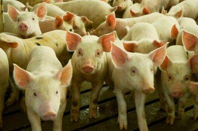Откриха чума във ферма със 17 000 свине в Николово