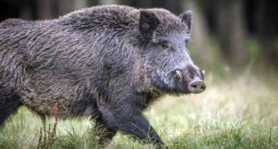 Откриха нов случай на Африканска чума по свинете в Пловдивско