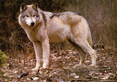 Вълци от Гърция нападат наше село