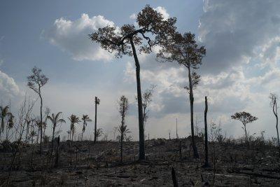 В Амазония секат гори, за да оцелеят