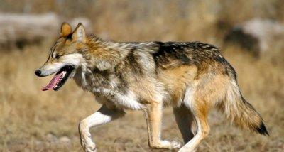 """Тровят вълци в защитена зона """"Сакар"""""""