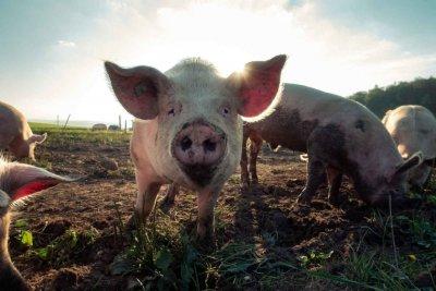 Кюстендилци скрили най-много прасета от БАБХ