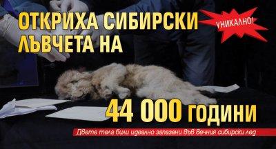 Уникално! Откриха сибирски лъвчета на 44 000 години