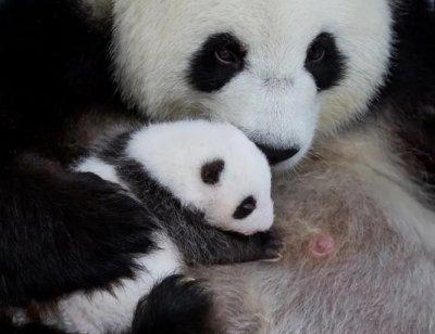 Пандите близнаци прогледнаха в Берлин
