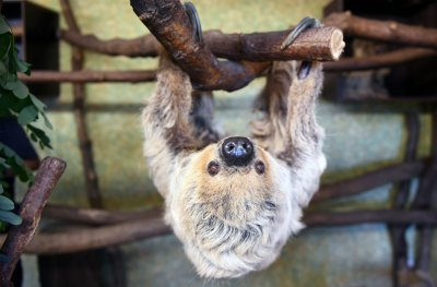 Паула е най-старият ленивец в света