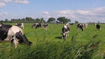 Учени боядисаха крави, за да ги предпазят от... мухите