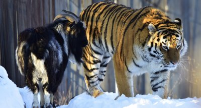 Спомина се козелът Тимур, най-добрият приятел на тигъра Амур
