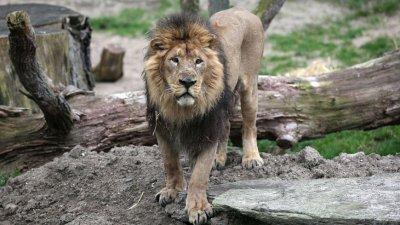Прокуратурата разследва защо е болен лъвът в разградския зоопарк
