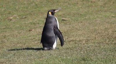 Шок: Кралски пингвини стигнаха Африка