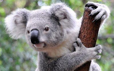 Семейство приюти 24 коали (ВИДЕО)