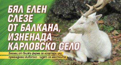 Бял елен слезе от Балкана, изненада карловско село