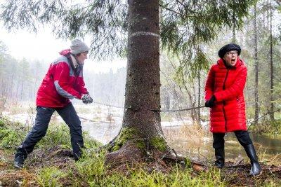 В Норвегия отсякоха и изпратиха за Великобритания 85-годишно коледно дърво