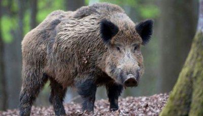 Отстреляха над 600 диви свине в област Търговище