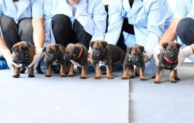 Китай клонира полицейски кучета