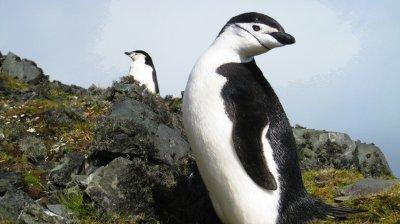 Пингвини-гейове гепиха яйцето на хетеросексуална двойка