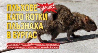 Паника! Плъхове като котки плъзнаха в Бургас