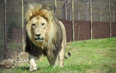 Уникум! Лъв пази дома на баровец