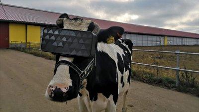 Увеличават добива на мляко от руските крави с очила за виртуална реалност